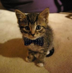 kitten-bow-tie