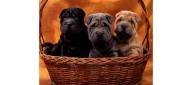 Shar Pei Puppies Brothers by Szakalova Edina