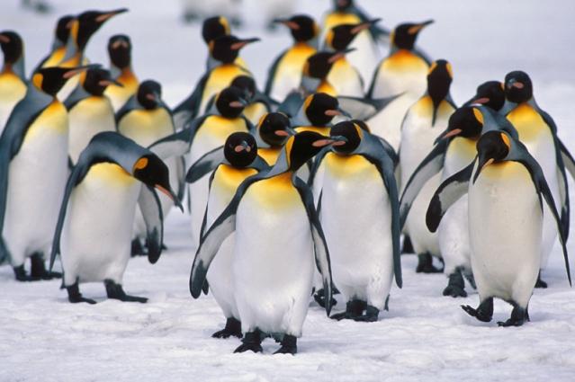 how-long-do-penguins-live1